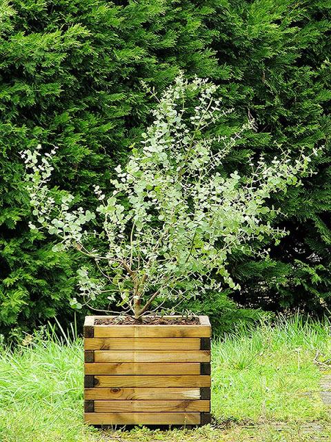 cultiver un eucalyptus en pot