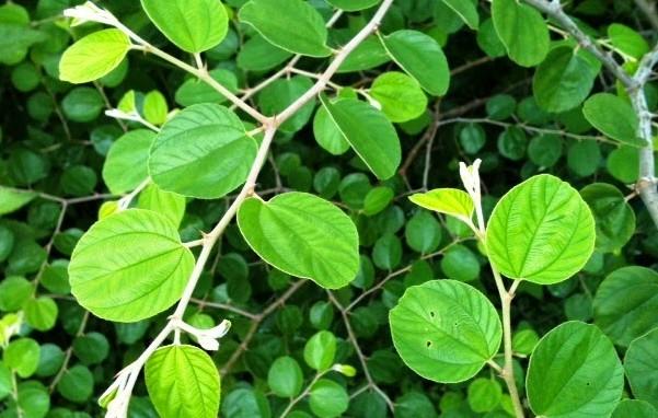 daun bidara