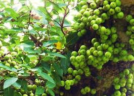 सदा जवान रहने का फार्मूला-  गूलर का फल( Fig keeps always young))