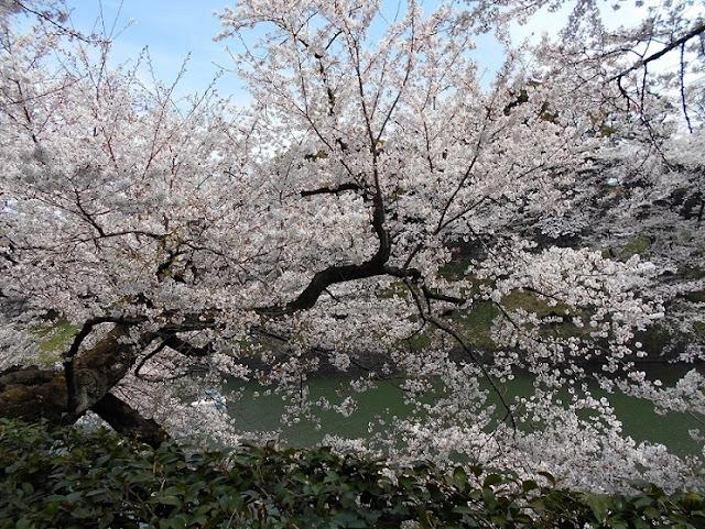 千鳥が淵の桜5