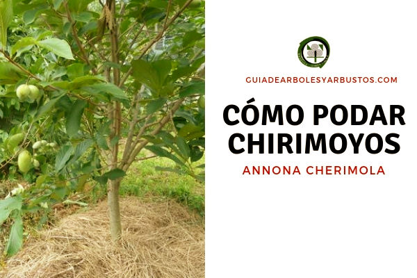 Aquí te explicamos cómo podar Chirimoyos: Se procede casi como si de podar un limonero se tratara