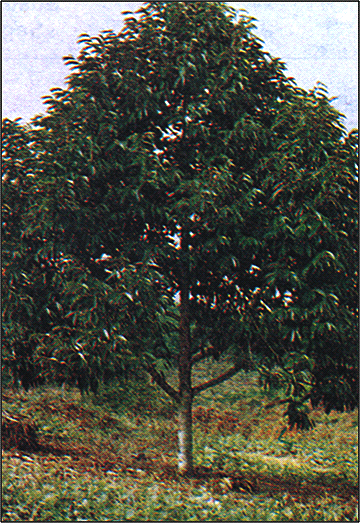 Durian Info: Pruning and Training The Durian