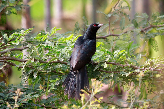 ‎Asian koel male