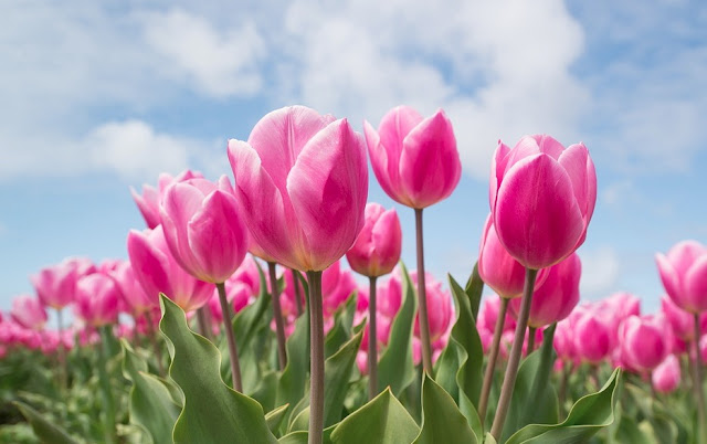 How To Plant Tulip Bulbs In Autumn Season