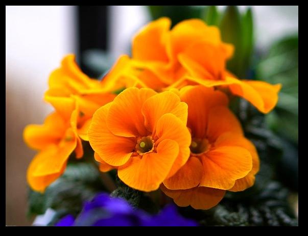 Proprietatile terapeutice ale plantei medicinale ciubotica-cucului