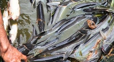 budidaya ikan patin di kolam terpal,cara budidaya ikan patin agar cepat besar,cara budidaya ikan patin di kolam beton,resensi budidaya ikan patin di kolam terpal,