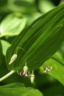 Streptope à feuilles embrassantes - Streptopus amplexifolius