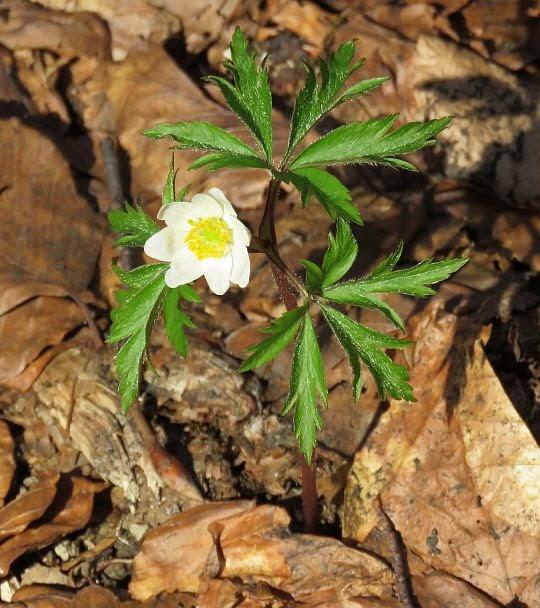 Zawilec gajowy (Anemone nemorosa L.).