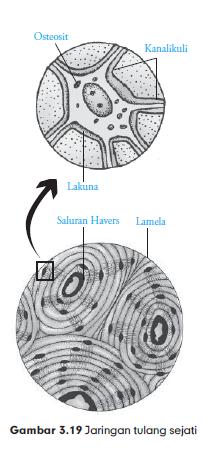 Macam Macam Jaringan Ikat Pada Hewan Struktur Dan Fungsinya Pintar Biologi