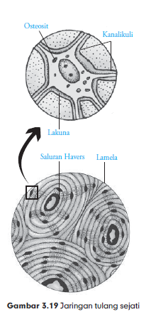 Contoh Jaringan Ikat Pada Hewan Adalah : contoh, jaringan, hewan, adalah, Macam-Macam, Jaringan, Hewan,, Struktur, Fungsinya, Pintar, Biologi