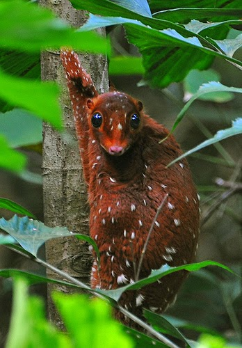 Animals You May Not Have Known Existed - Sunda Colugo