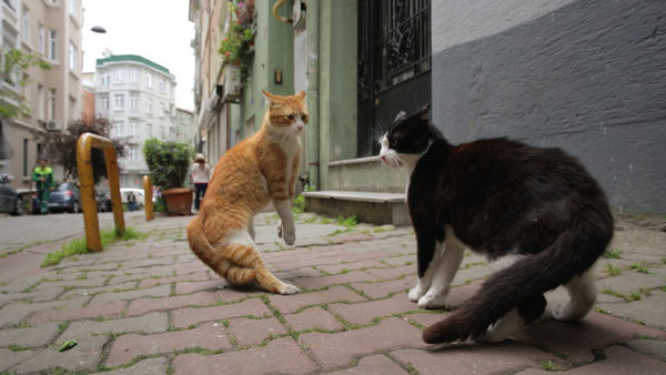 fighting cats istanbul