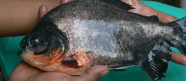Gambar Ikan Bawal Air Tawar dan Air Laut Konsumsi dan Hias