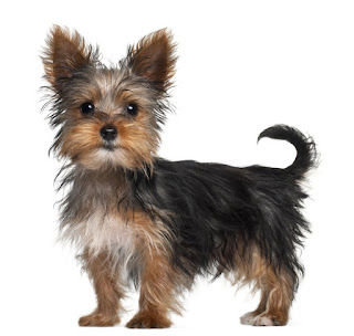 Everything about your Yorkshire Terrier