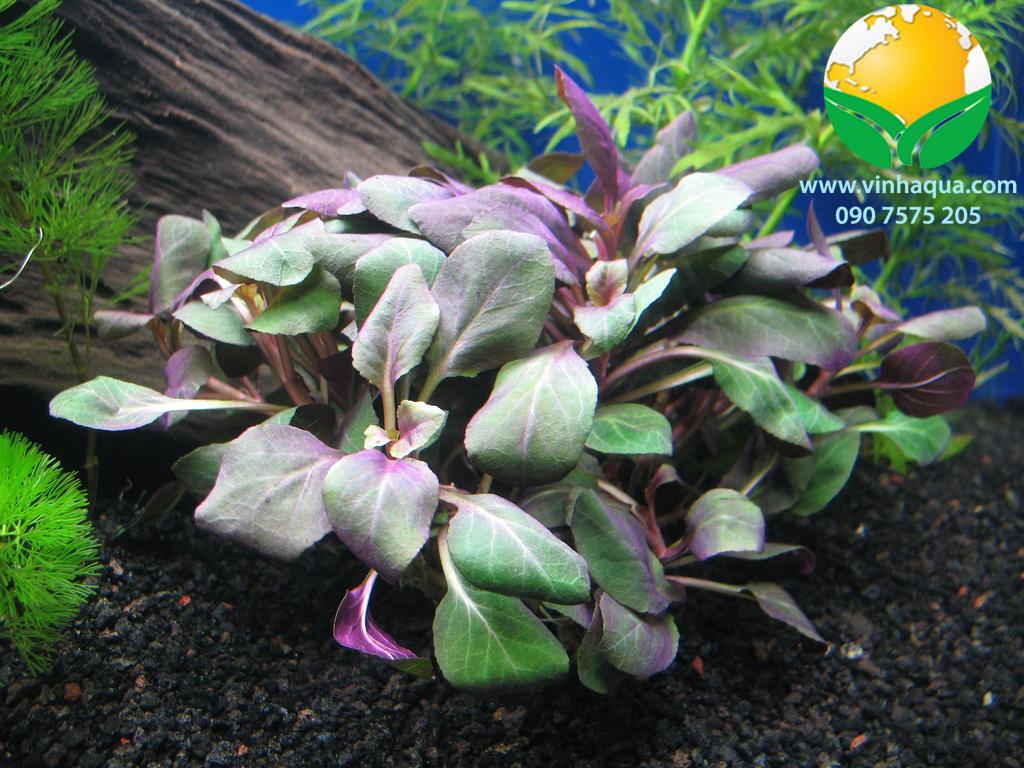 Cây thủy sinh hồng ba tiêu - Lobelia Cardinalis