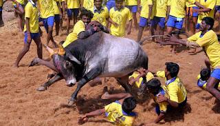 Jallikettu, Jallikattu, Bulls, India, Tamil, Tamil Nadu