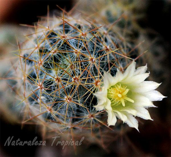 El Cactus Mammillaria prolifera