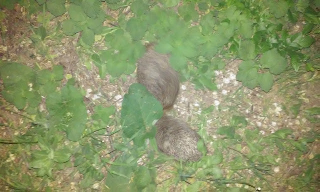 European Hedgehog or Erinaceus europaeus