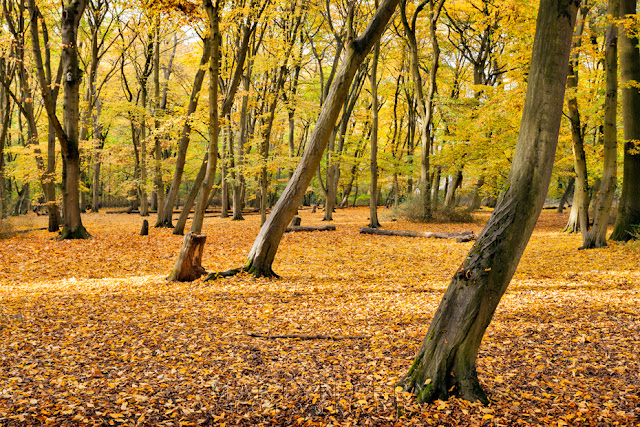 Trees covered in autumn colour in the sunshine at Hinchingbrooke Country Park