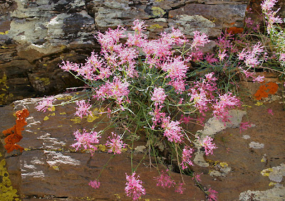 Centranthus nevadensis