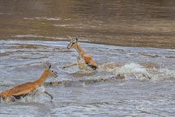 Aksi Mengerikan Buaya Besar Saat Makan Kijang di Sungai