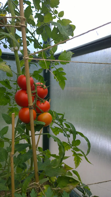 reifende Tomaten im Gewächshaus (c) by Joachim Wenk
