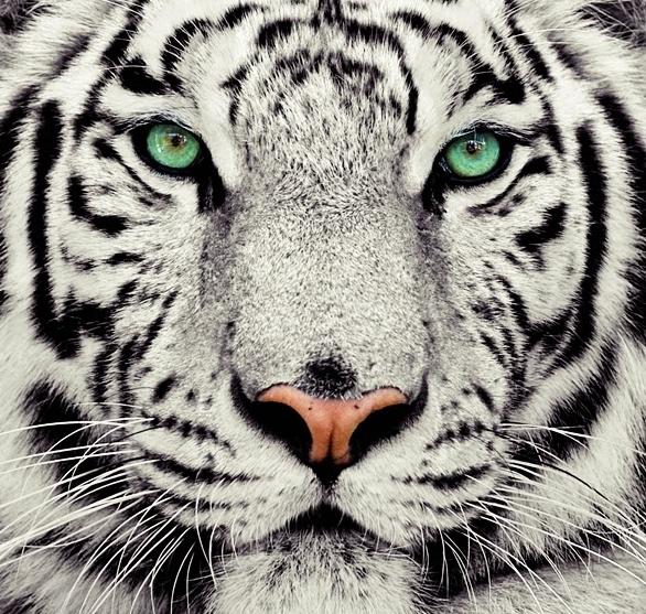 60 Gambar Binatang Harimau Putih Gratis Terbaik