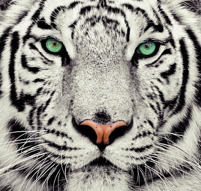 Harimau Putih, Deskripsi Harimau Putih, Fakta Unik Harimau Putih, Gambar Harimau Putih, Nama Ilmiah Harimau Putih, Informasi tentang Harimau Putih.