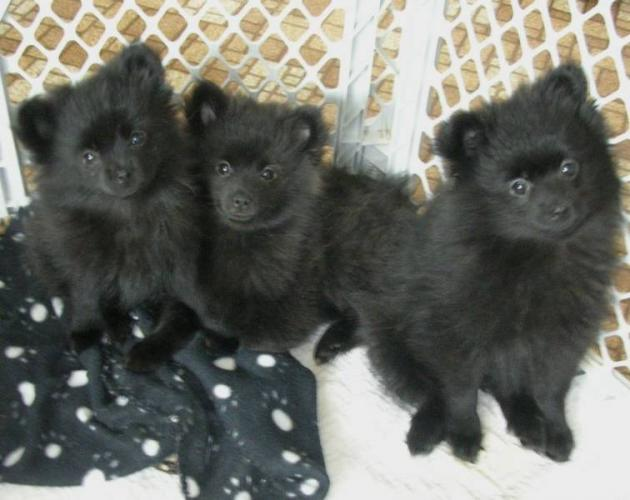 Cute Puppy Dogs: Cute black pomeranian puppies