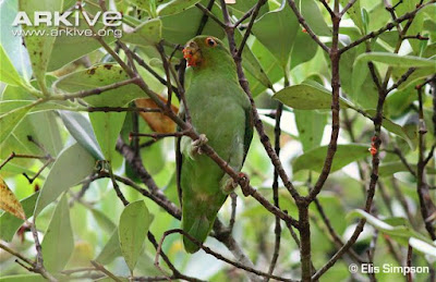 Brown backed Parrotlet