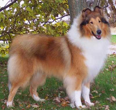Dog Blog Dog Breed Scotch Collie Dog Breed Images