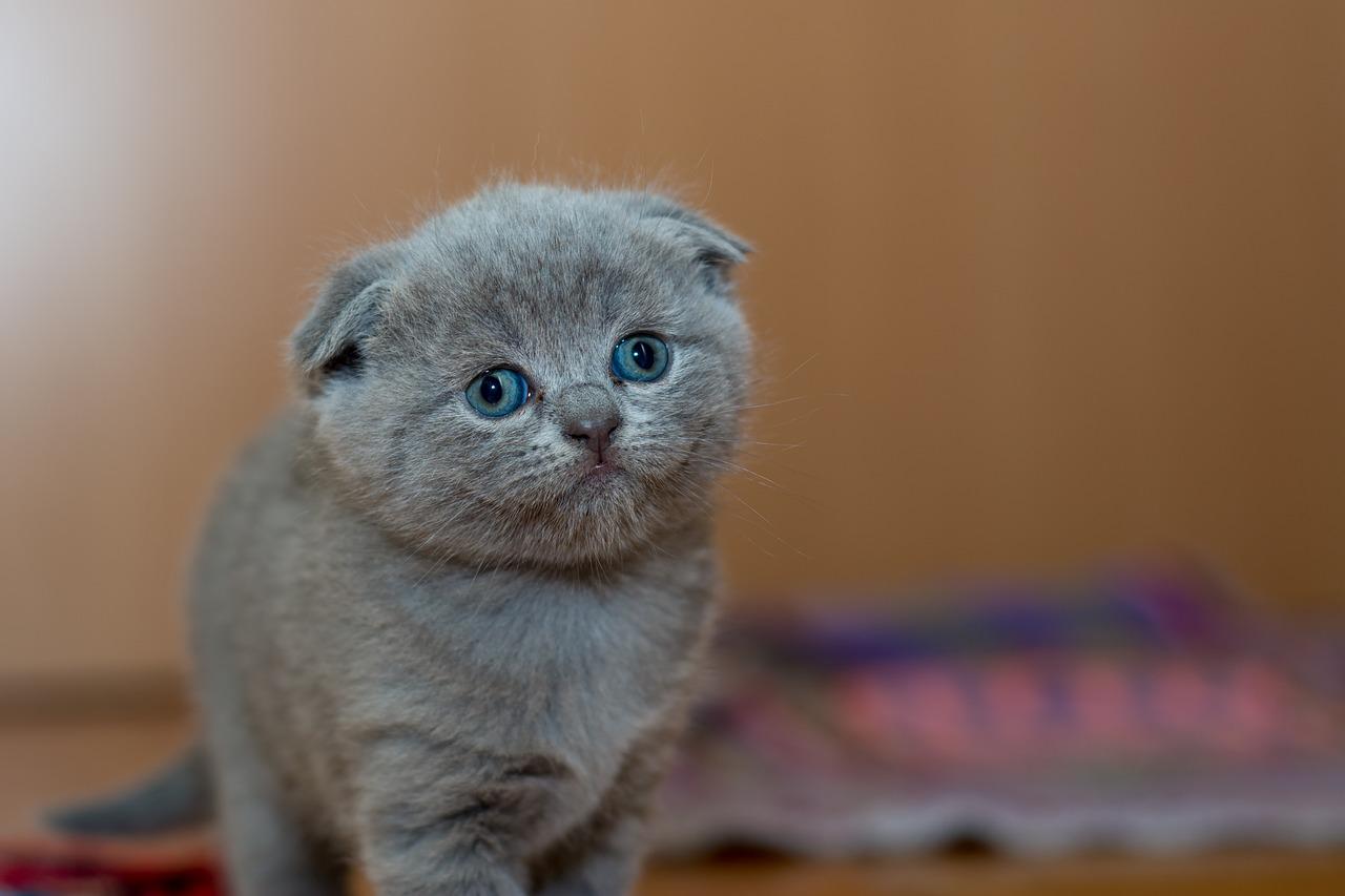 gambar kucing gebu dan gemuk