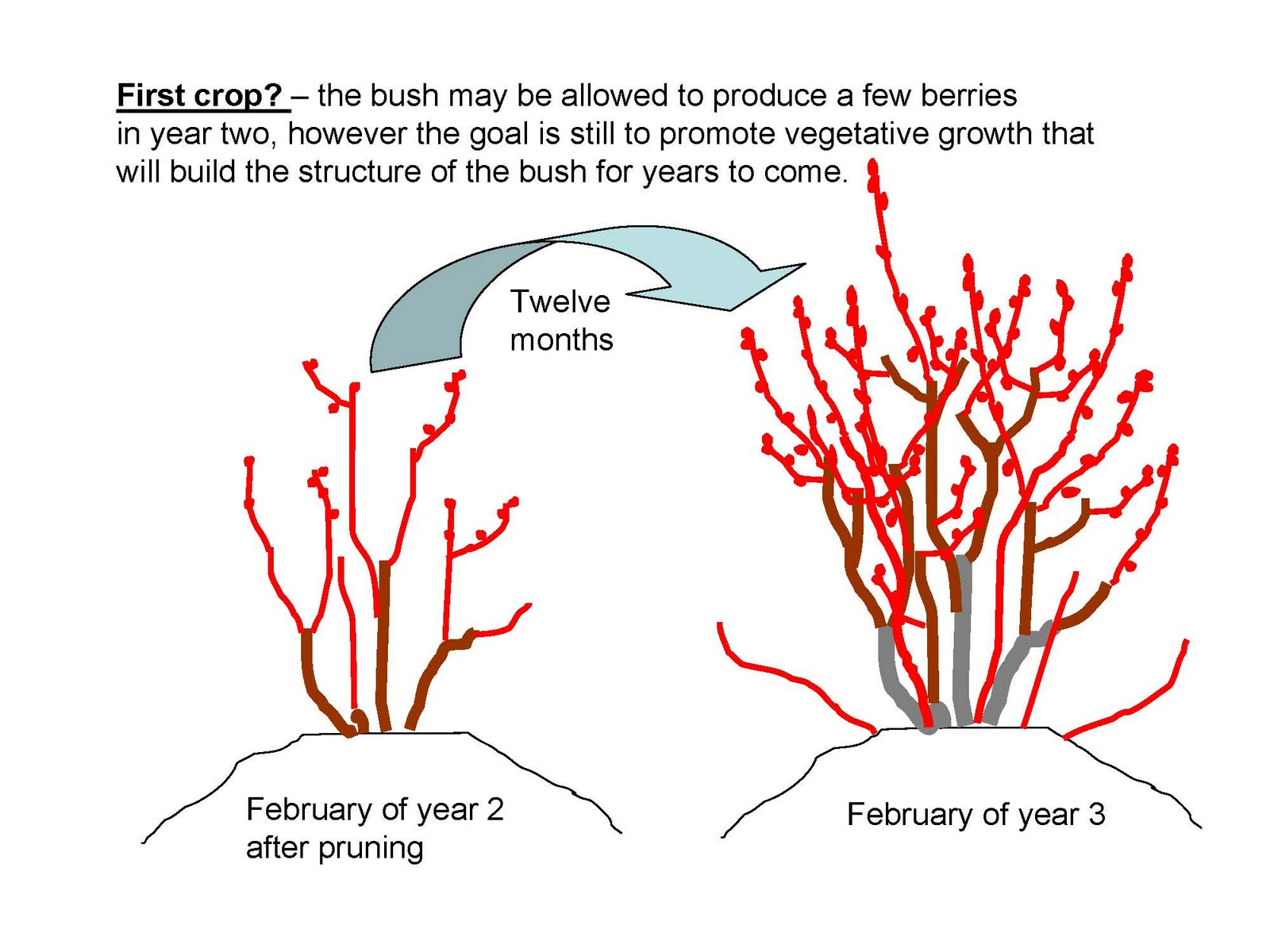 how to prune an apple tree diagram electromagnetic spectrum labeled the nc blueberry journal pruning young plants