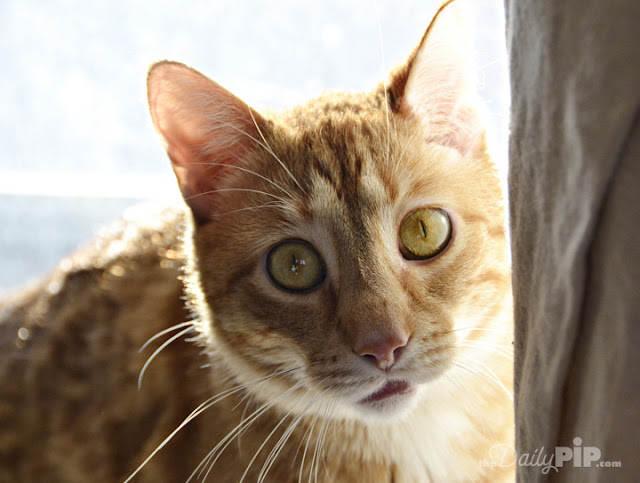 Fawkes, the rescued orange cat with Cerebellar Hypoplasia