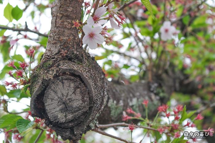 branche de sakura en fin de floraison