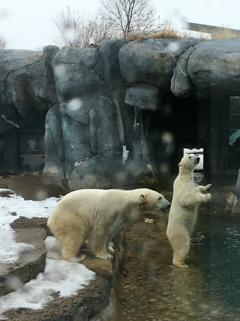 Polar bears at the Toronto Zoo