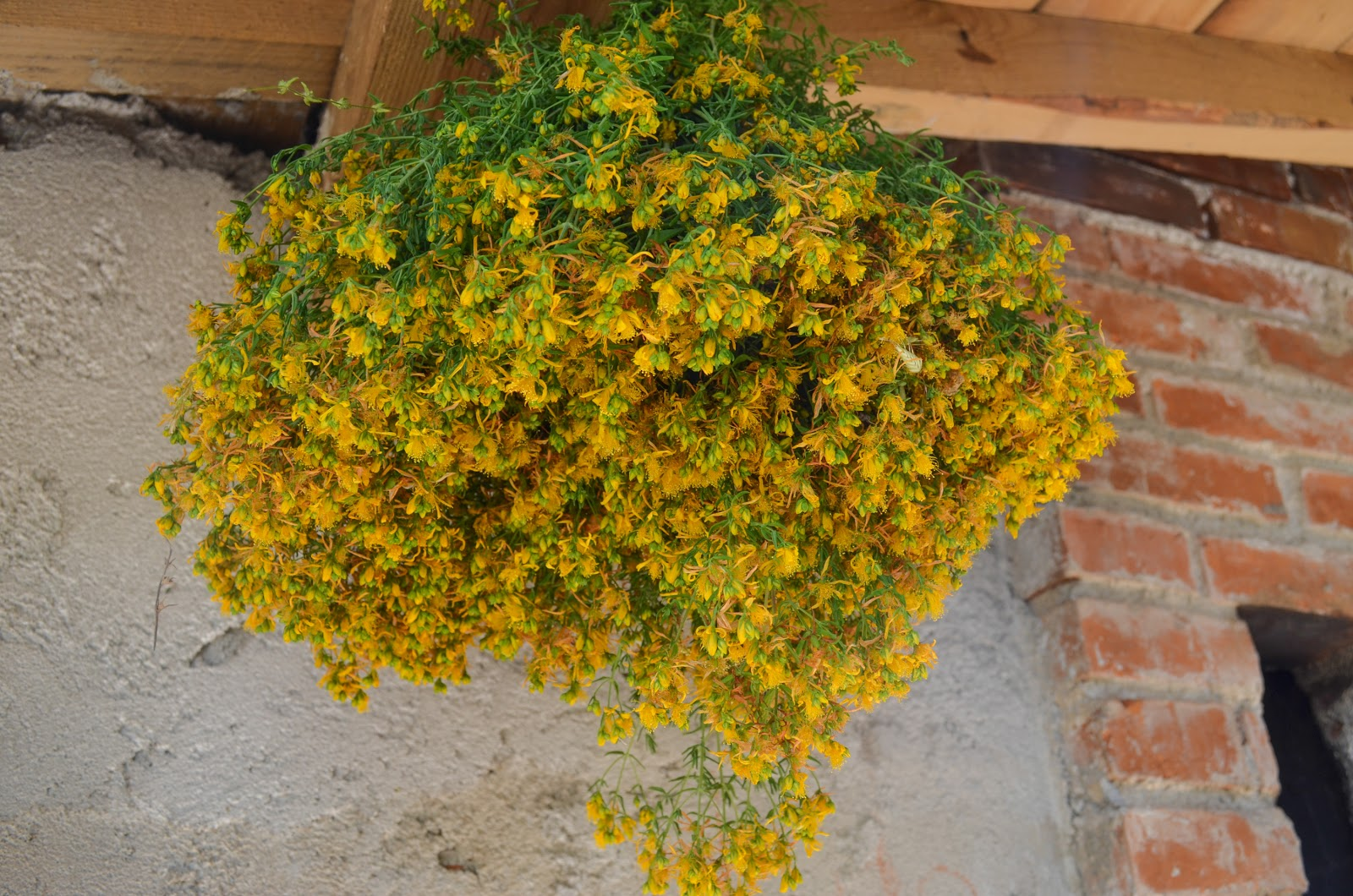 st johns wort hypericum perforatum essay Why dad refused to do the dishes  has covered st johns wort (hypericum perforatum)  but repeated here for those who haven't the time to read the full essay.