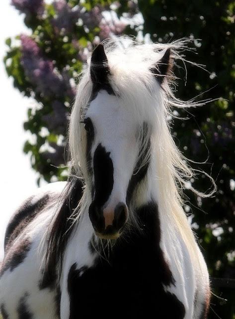 beautiful horses - Gypsy