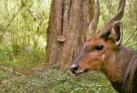 Ticks are visible on the forehead of this bushbuck, a sub-Saharan antelope. (Credit: eMammal) Click to Enlarge.