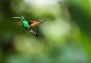 pájaro colibrí