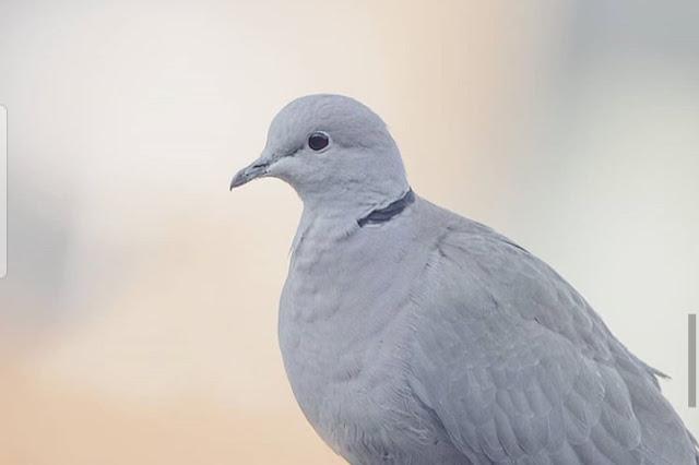 cara menangkap burung merpati. merpati lambang kemurnian, ketulusan, dan kedamaian. memelihara burung