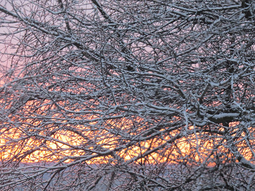 sunrise through snowy branches