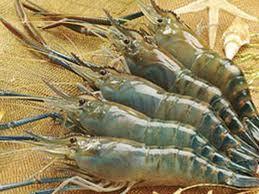 panduan cara budidaya tambak udang lobster galah vaname ton poc nasa hormonik viterna nasa natural nusantara distributor resmi