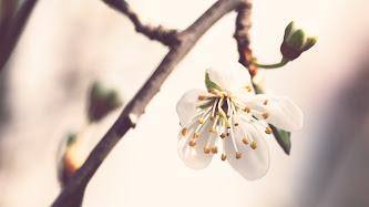 Wallpaper: Nature. Spring Flowers. Cherry Blossom