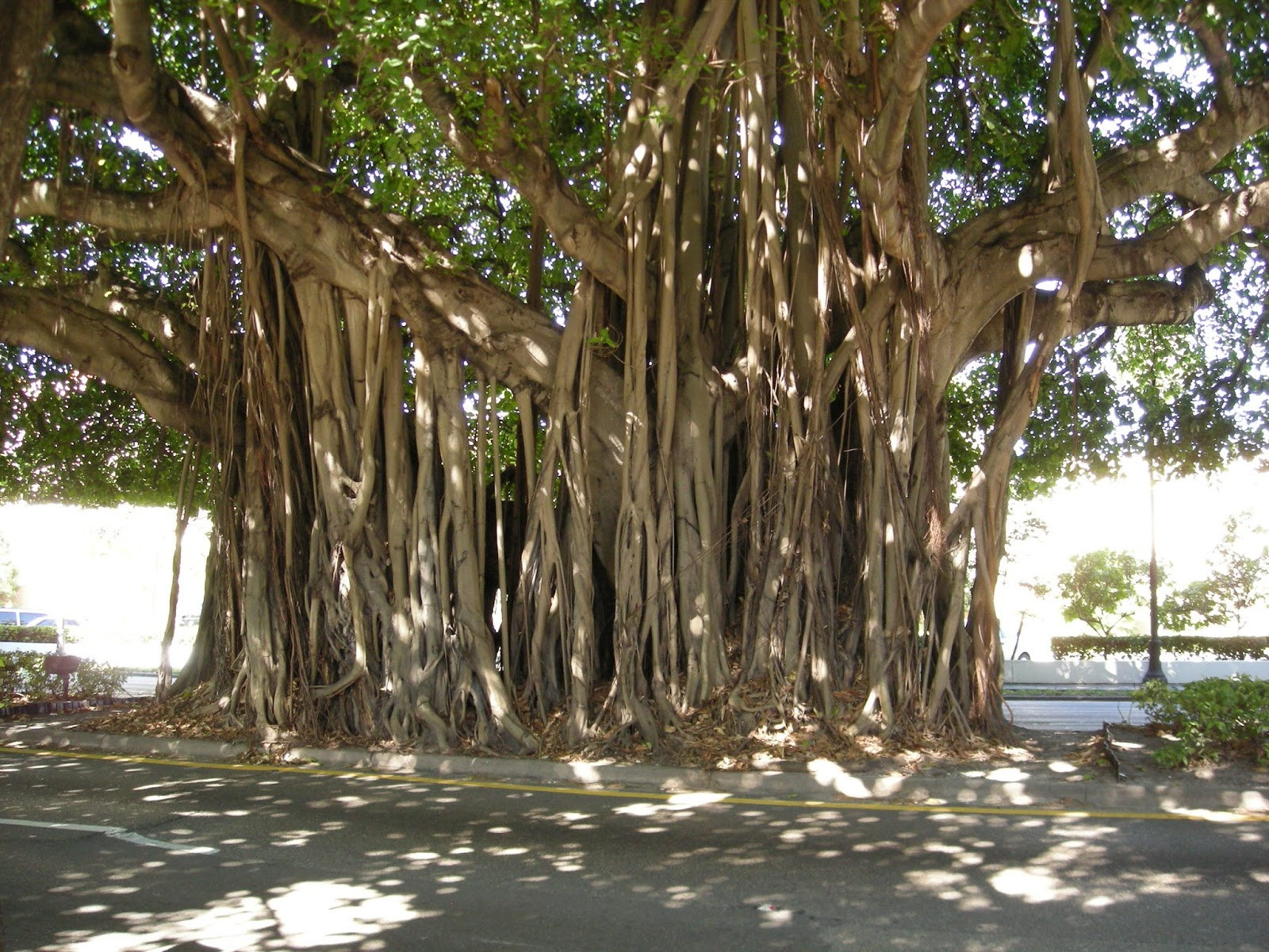 Image result for banyan tree