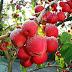 🌳 Как правильно привить яблоню – советы новичкам