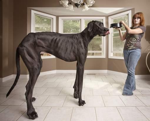 Zeus, le plus grand chien du monde