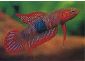 Jenis Ikan Cupang Kalimantan Timur
