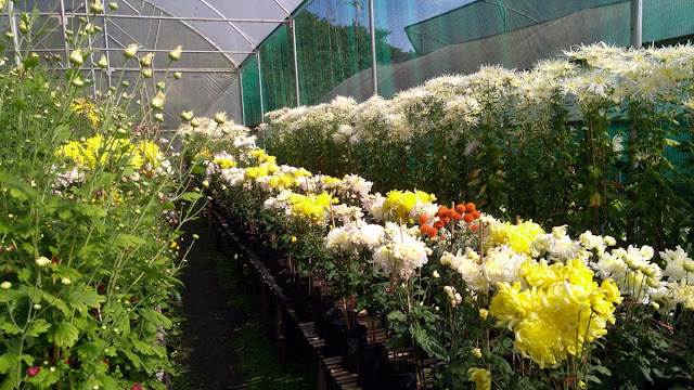 Flowering of Chrysanthemum at Tropical Nursery