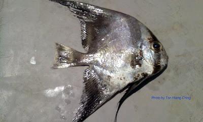Juvenile Longfin Batfish, Platax teira, Tudung Periuk, Telinga Gajah